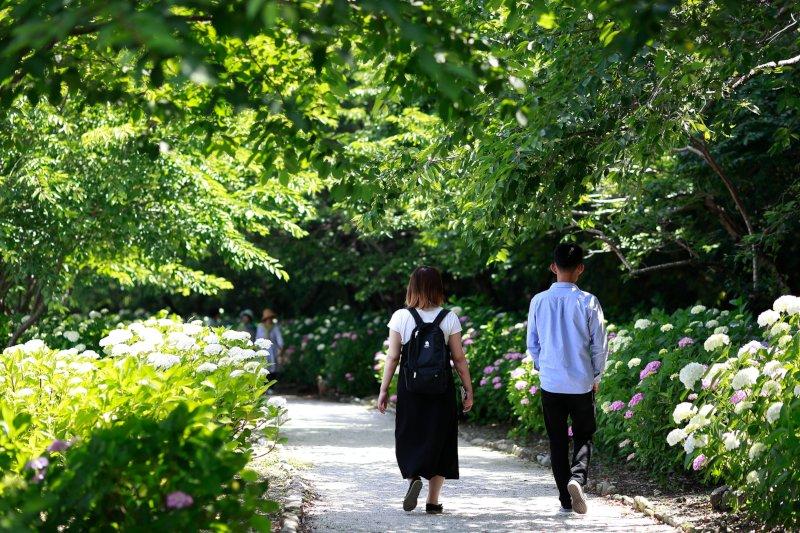 紫陽花が咲いている道を歩くカップル