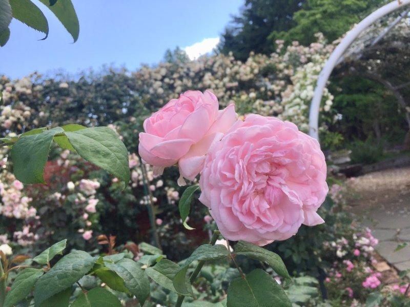バラも咲いてました