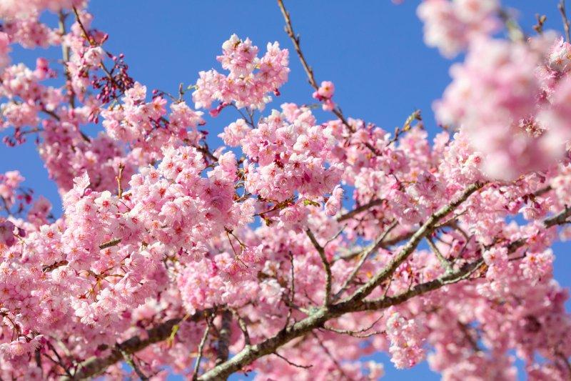 満開の桜の画像